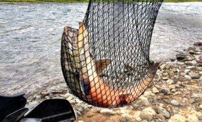 Fishing Eyjafjardara river
