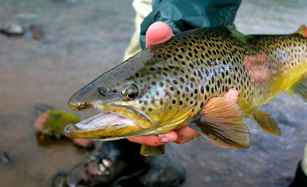 Brown Trout fishing in Iceland.