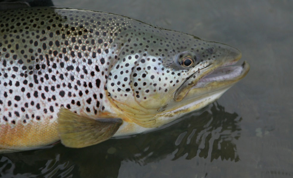 how to catch sea trout in rivers
